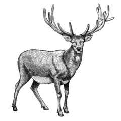 engraving of reindeer on white background