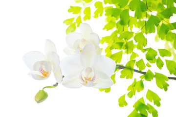 blooming white orchid with leaves fern,  isolated on white  back