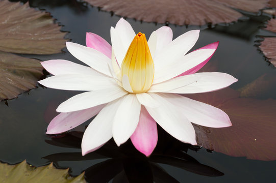 white lotus or water lilly in pond with green leaf