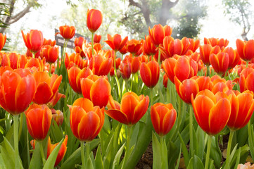 orange tulips in garden