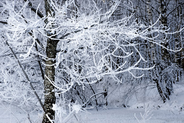 Tree with rime frost