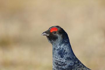 Fotoväggar - Black grouse, Tetrao tetrix