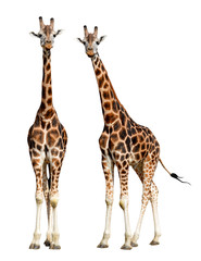 Printed roller blinds Giraffe giraffes isolated