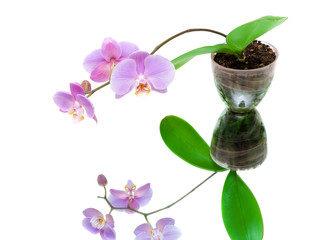 blooming orchid with reflection on white background