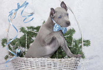 Thai ridgeback puppy in a basket. Two months old