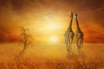 Giraffes wheat field