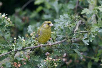 Fotoväggar - Greenfinch, Carduelis chloris,