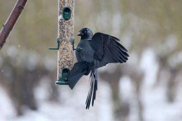 Fotoväggar - Jackdaw, Corvus monedula