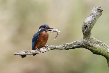Fotoväggar - Kingfisher, Alcedo atthis