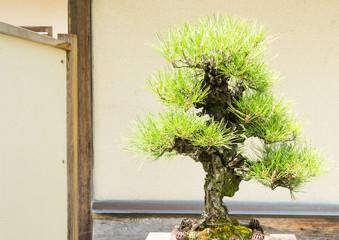 Pine tree japanese bonsai on light background