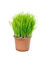 Wheat in the flowerpot
