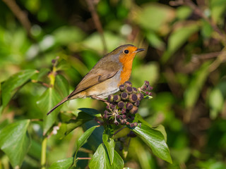 Robin on Ivy