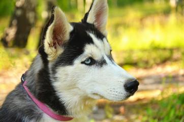 Dog Portrait - Husky