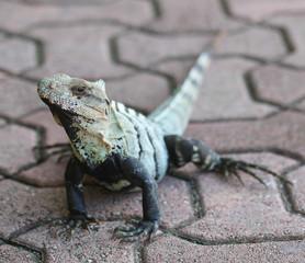 Iguana outdoor. Lizard