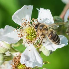 Bramble Browsing Bee