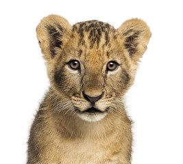 Close-up of a Lion cub looking at the camera, 10 weeks old