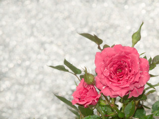 rose in dewdrops