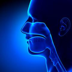 Sinuses - Clear - Head Anatomy