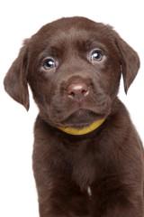 Brown Labrador puppy portrait