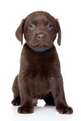 Labrador puppy sits on white background