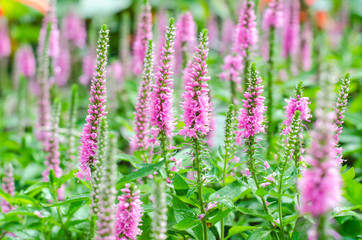 Pink Loosestrife(Lythrum Salicaria) or crybaby-grass