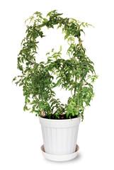 jasmine polyanthous