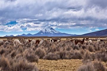 Bolivia - alpacas