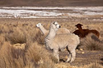 Fotorolgordijn Lama lama, alpaca