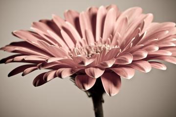 Foto auf Acrylglas Gerbera Macro photo of gerbera flower with water drop