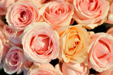 Many pink rose.