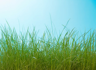 High green grass closeup on blue background