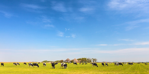 Panoramic image of milk cows on the Dutch island of Texel Wall mural