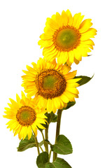 Bouquet of sunflowers