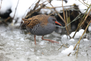 Wall Mural - Water rail, Rallus aquaticus
