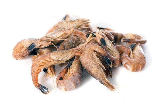 gray shrimp
