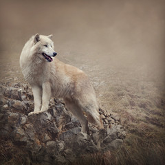 Fototapete - White wolf at the night