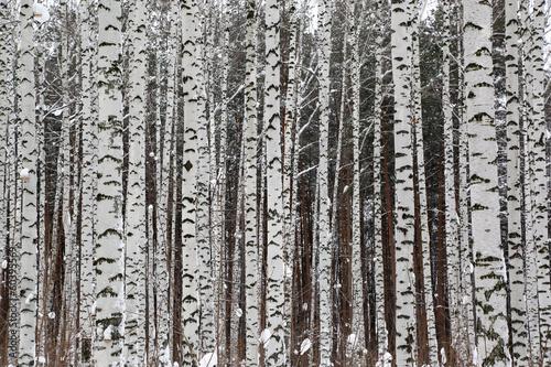 Fototapete winter birch forest