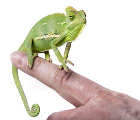 Wall Mural - pet chameleon on a finger