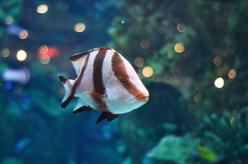 White and brown striped fish in salwater aquarium