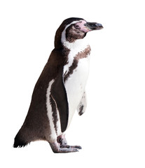 Humboldt penguin. Isolated on white