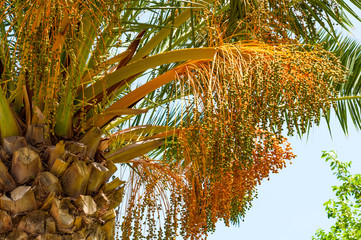Fruit of the date palm tree