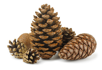 Group of various conifer cones