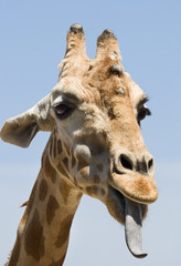 giraffe with tongue