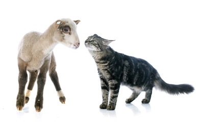Wall Mural - young lamb and kitten