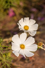 White cosmos flower close up