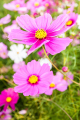 Pink cosmos flower close up