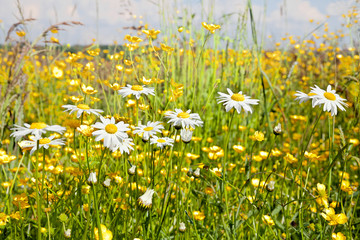 Wall Mural - Beautiful field of daisies.
