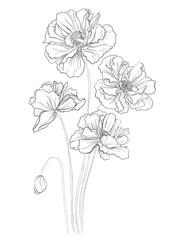 Flower hand drawn poppies
