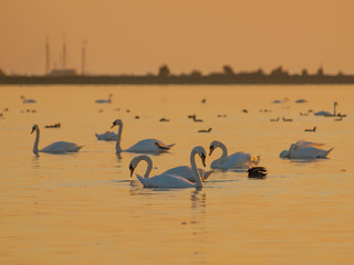 Orange Light Swans