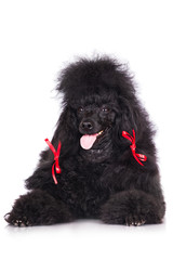 adorable black poodle with red ribbons on the ears